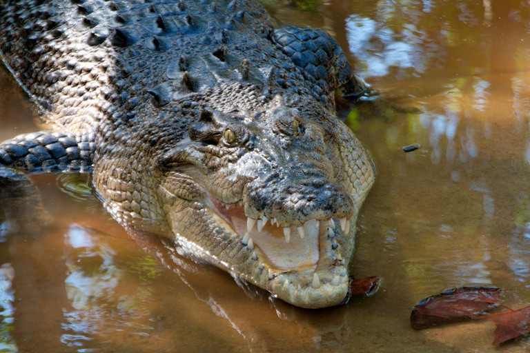 Crocodile emerging from the water © Christian Haugen / Flickr