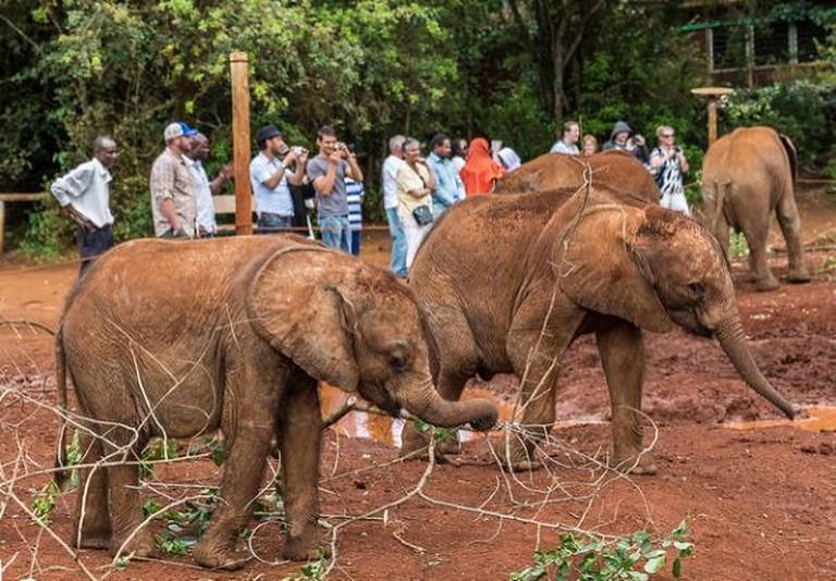 Friendly elephants at the David Sheldrick Elephant Trust