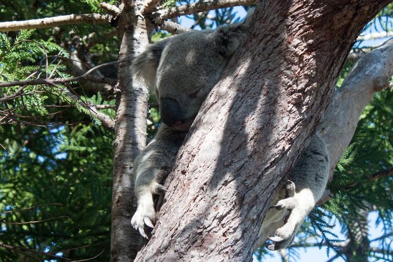 Koala on Magnetic Island © Tchami / Flickr