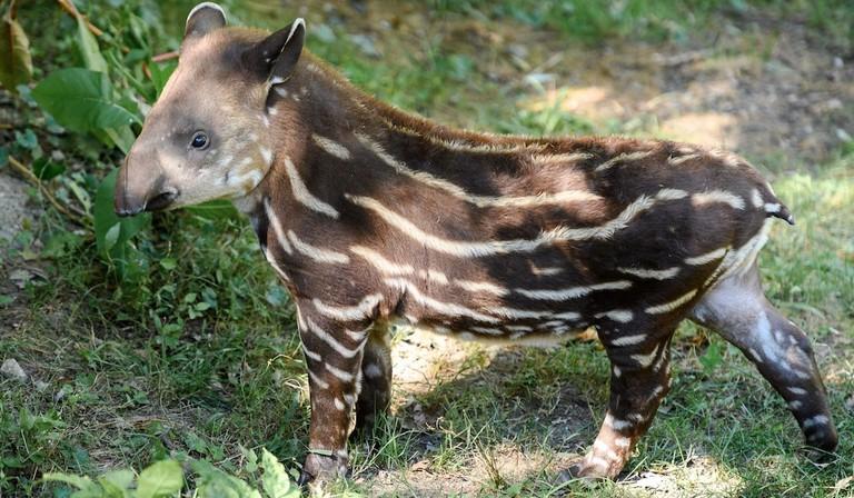 Baby tapir in Costa Rica