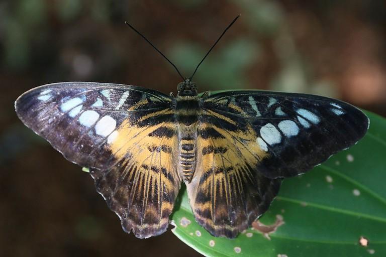 1024px-A_butterfly_at_Bohol_-_fryvil_3