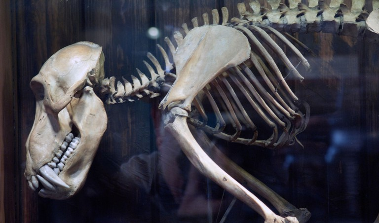 Skeletons of extinct animals are on display at the Grant Museum of Zoology