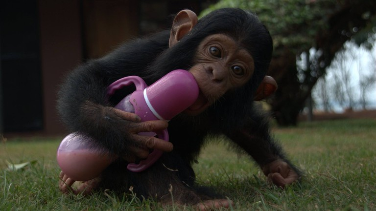 Feeding time for this baby chimp