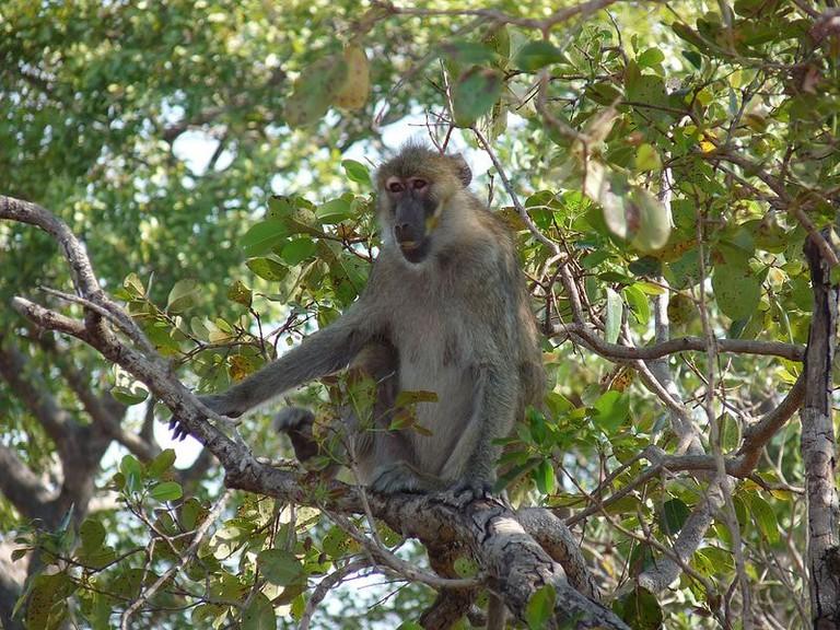Female_kinda_baboon