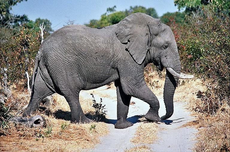 800px-Moremi_elephant