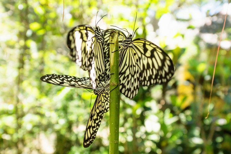 White and black butterflies in Bohol, Philippines, Asia.