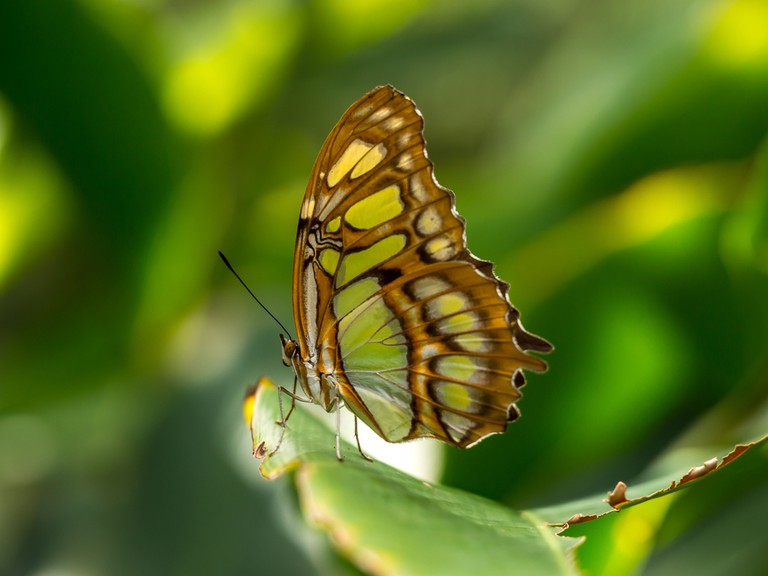 The Malachite Butterfly, Aruba Butterfly Farm