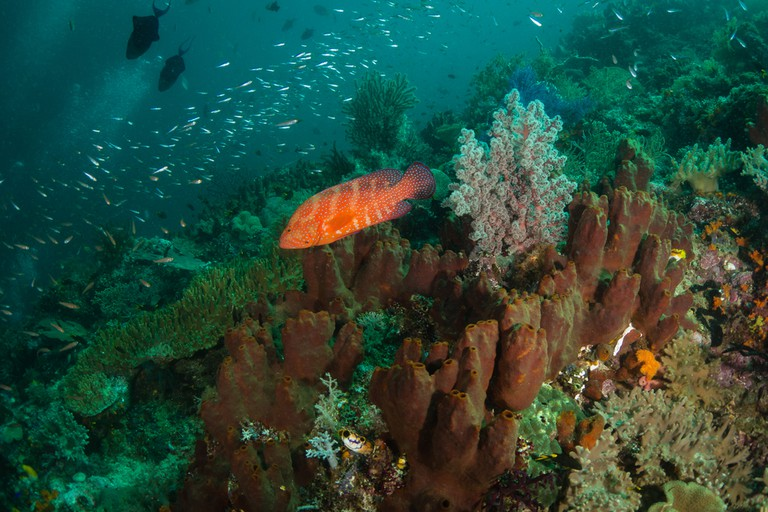 A rainbow grouper and coral