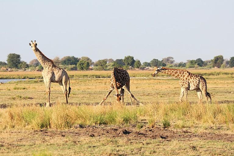 800px-Giraffes_in_Chobe_National_Park_02