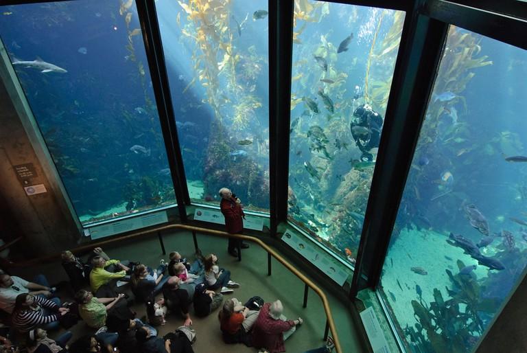 The famous giant kelp tank at the Monterey Bay Aquarium.