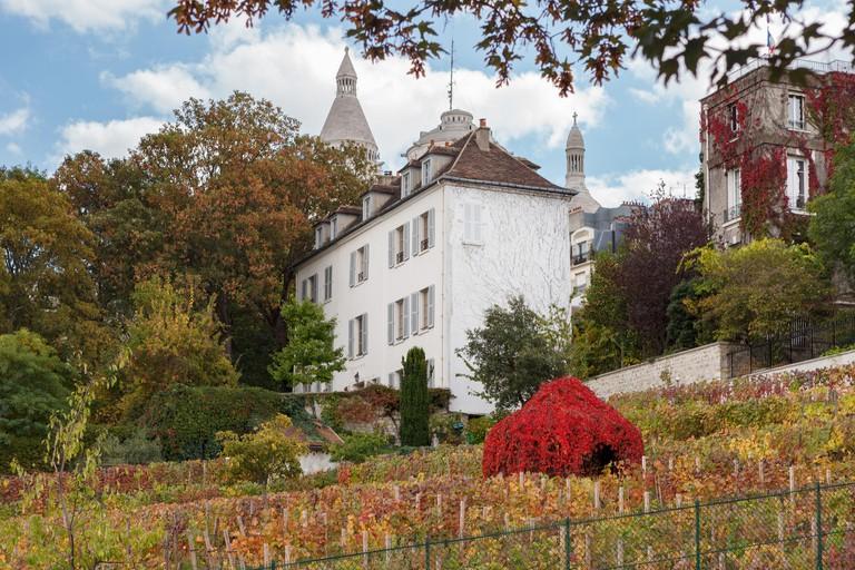 Vineyards of Montmartre. Clos-Montmartre, Paris.