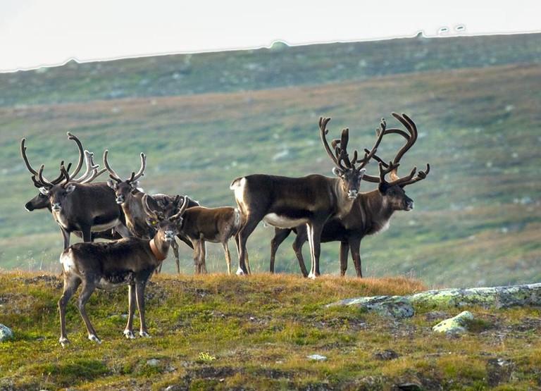 Reindeer at at Blåfjella–Skjækerfjella National Park, © Kjartan Trana