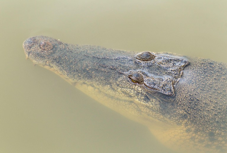 Saltwater crocodiles in Sungei Buloh, Singapore.
