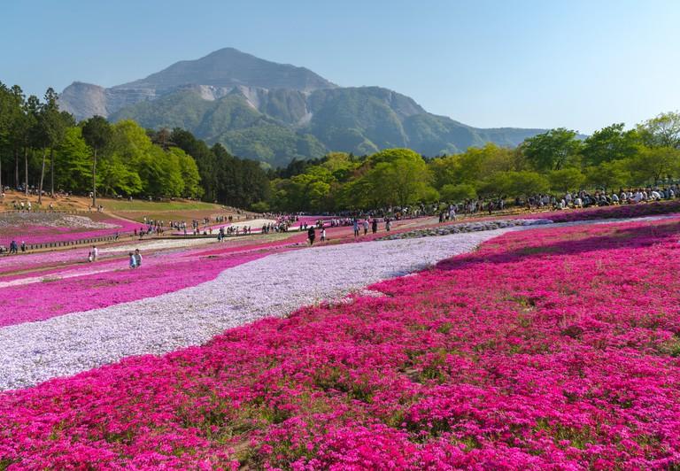 Blossom in Spring at Hitsujiyama Park, Chichibu city.