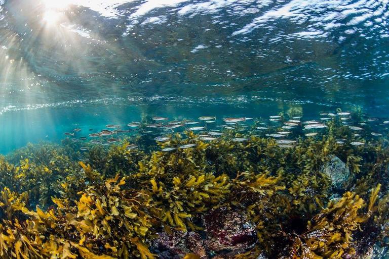 The underwater flora and fauna in Saltstraumen are fascinating, © Erling Svensen, Courtesy of Saltstraumen Dykkekamp