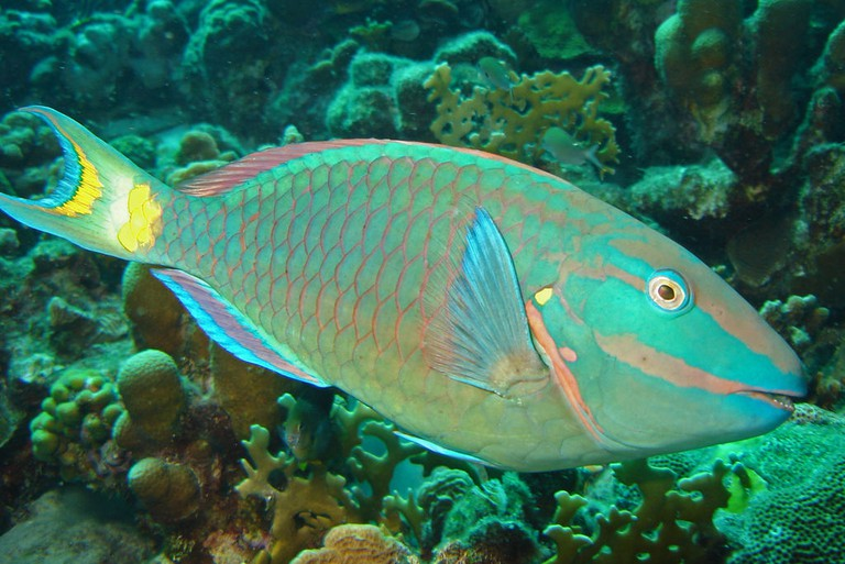 1024px-Stoplight-parrotfish