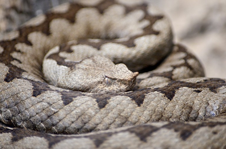 horned-viper-1329241_1280