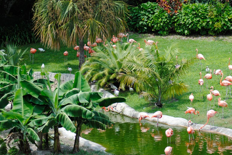 A flock of Caribbean flamingos at Jungle Island, Miami.