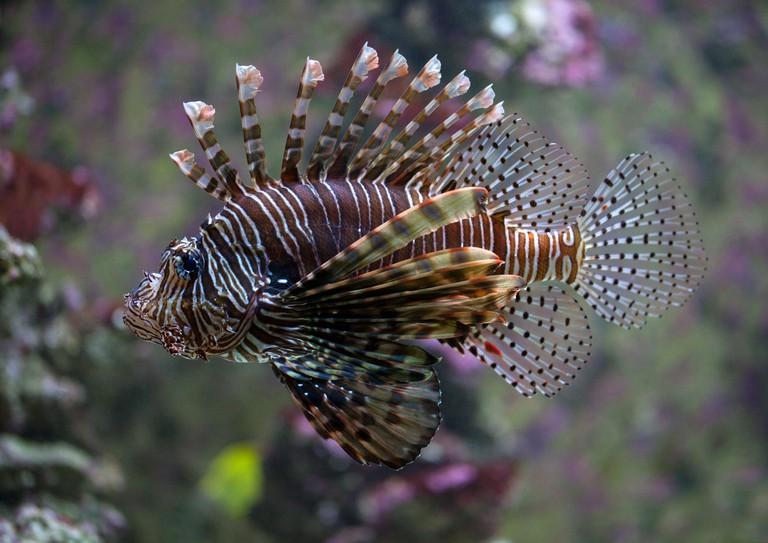 Lionfish in Bergen aquarium, Norway.