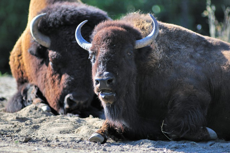A young American bison or buffalo (Bison bison) among a small herd at Brookfield Zoo near Chicago. Brookfield, Illinois, USA.
