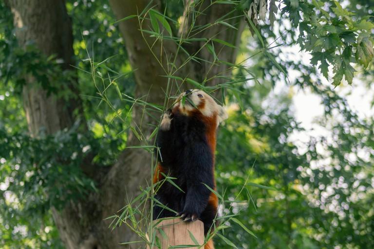 Red Panda in Birmingham Wildlife Conservation Park