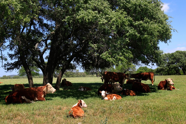 Hereford cattle at the LBJ Ranch near Johnson City, Texas.