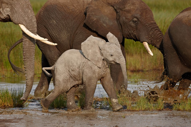 Baby African elephant (Loxodonta africana), Serengeti National Park, Tanzania, East Africa, Africa