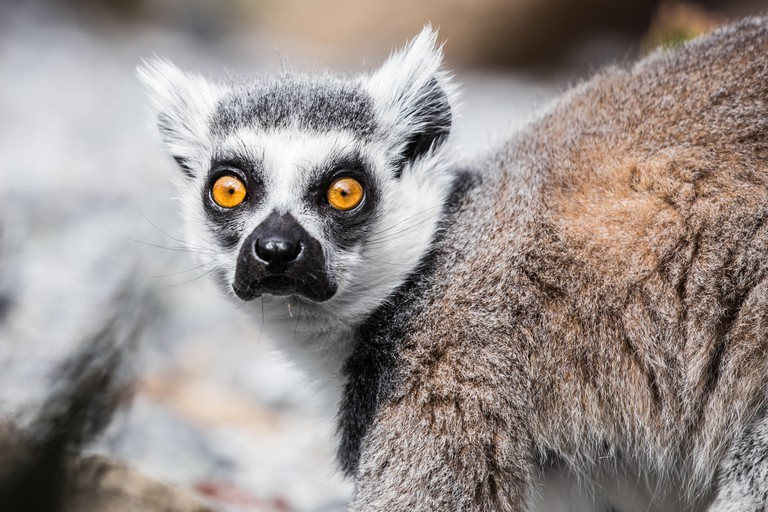 Ring tailed lemur with bright orange eyes