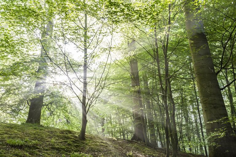Sunburst piercing a beech forest