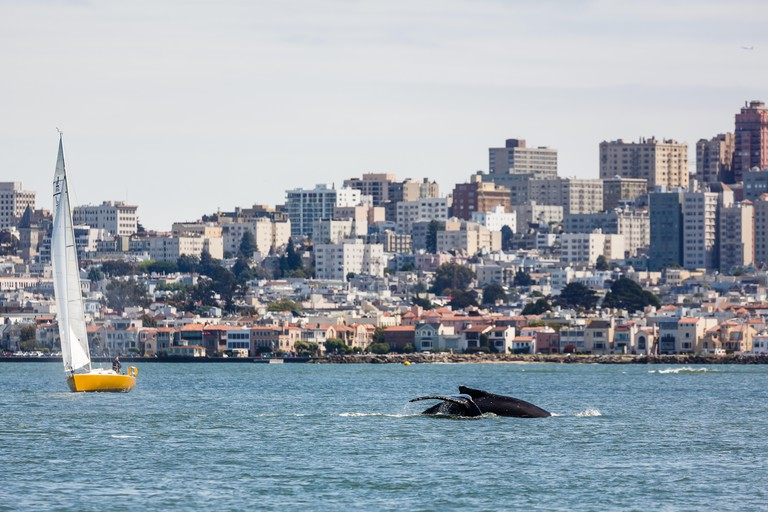 Sighting of mother humpback whale and baby swimming inside San Francisco Bay