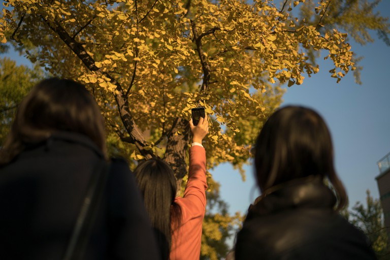 young women taking pictures under the gingko tree Beijing China
