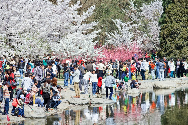 BEIJING-MARCH 30, 2014. Visitors enjoy Yuyuantan Park Cherry tree blossom festival. It attracts domestic as well as international tourism; the famous