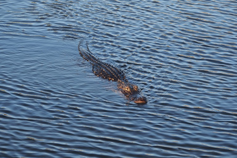 American Alligator, swimming beside the Anhinga Trail in Everglades National Park, Florida.