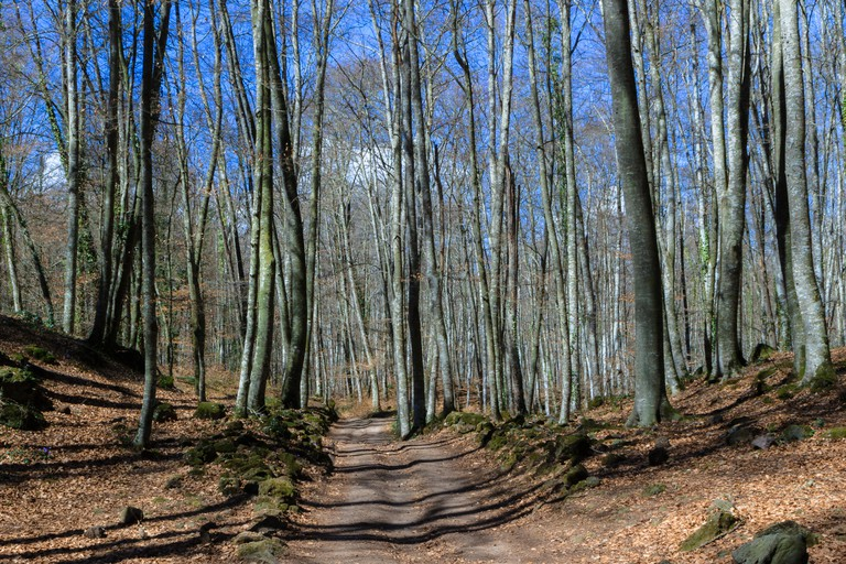 View of La Fageda den Jorda, a forest of beech trees, in Olot, Spain.
