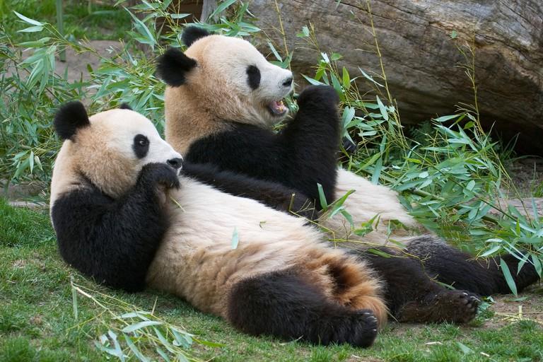Giant Panda bear Ailuropoda melanoleuca eating bamboo in the zoo Schonbrunn Vienna Austria