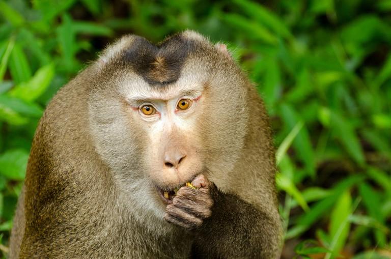 Northern pig-tailed macaque (Macaca leonina) in Khao Yai