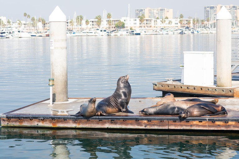 Sea lions and seals resting on a pier at Fisherman Village, Marina del Rey, California
