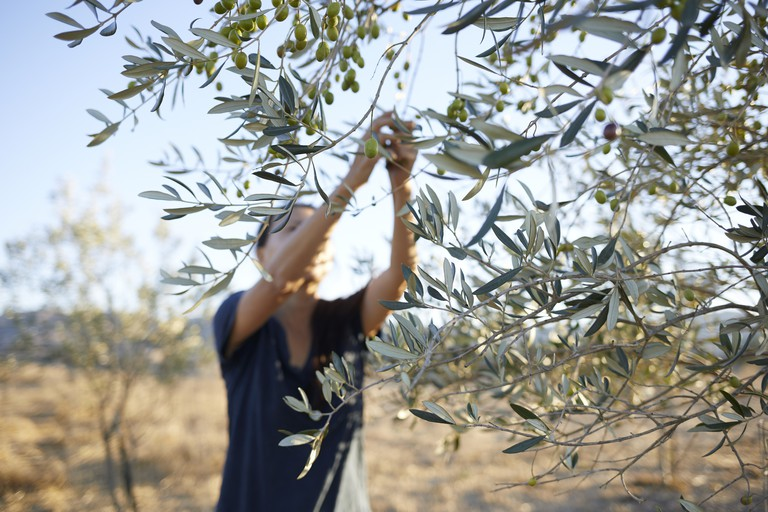 Woman collecting the olives from tree