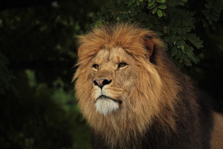 Lion Against Plants At Copenhagen Zoo