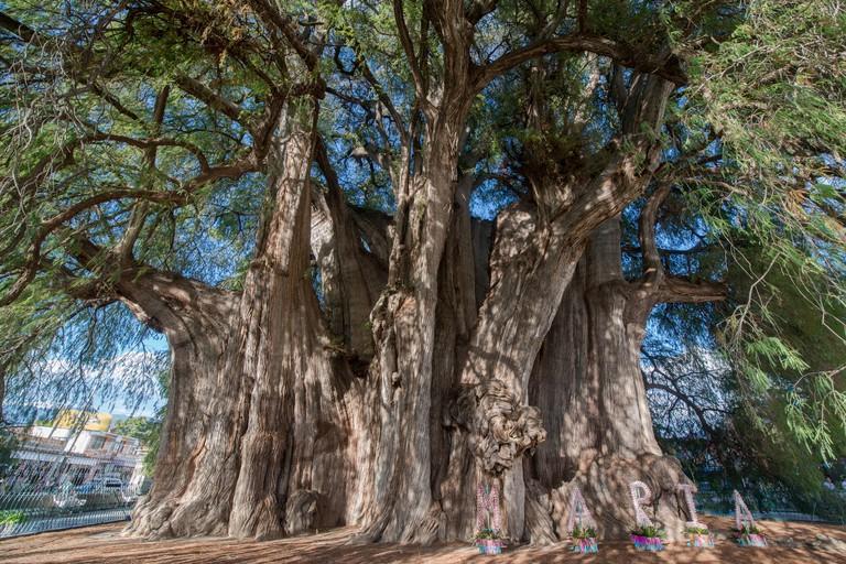 Arbol del tule tree, Mexico