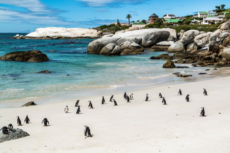 Colony of spectacle penguins, Boulders Beach, Simon's Town