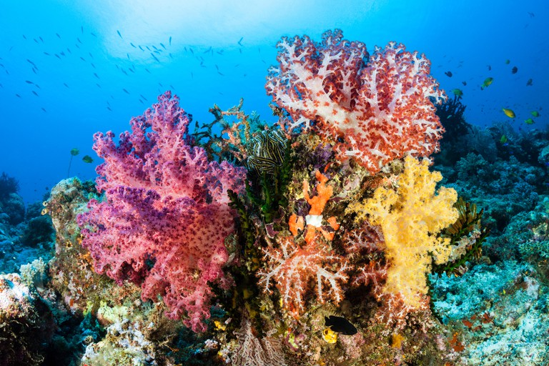 Soft Corals in Coral Reef, Dendronephthya, Lissenung, New Ireland, Papua New Guinea