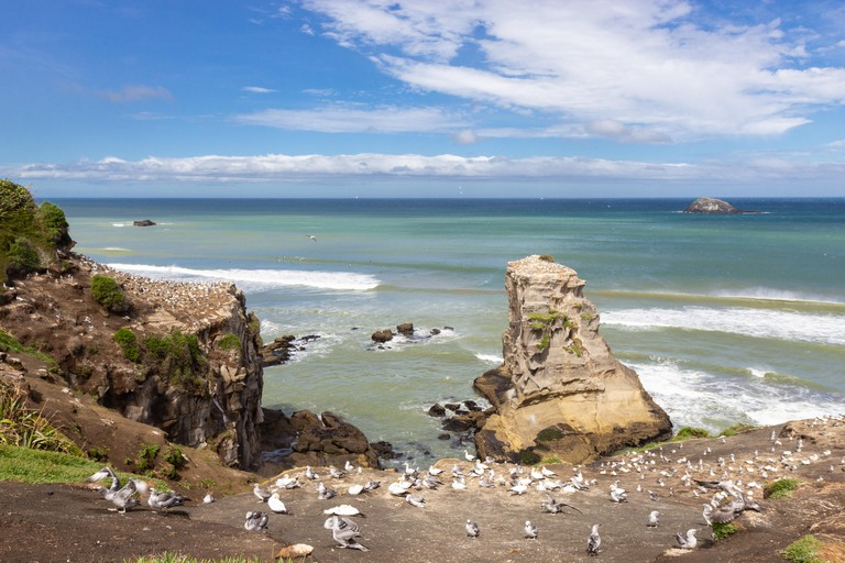 Gannet colony at Muriwai beach, New Zealand