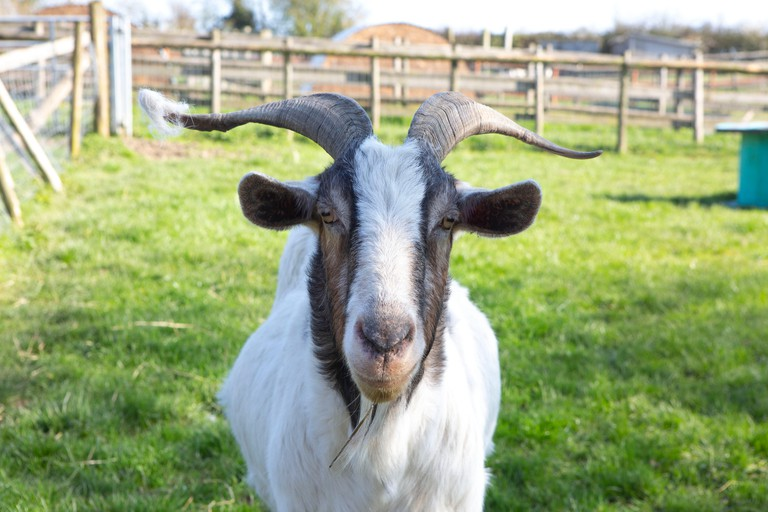 Amelia Trust Farm, Barry. 26th March 2019. Gerald the goat was sadly abandoned at the Amelia Trust Farm a few years ago. Sadly this is happening more