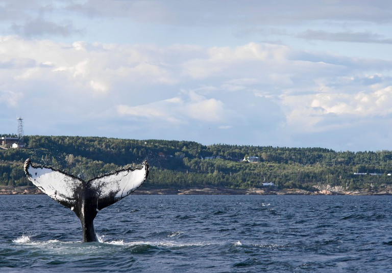 Whale watching on Saint Lawrence river in Tadoussac, Quebec, Canada