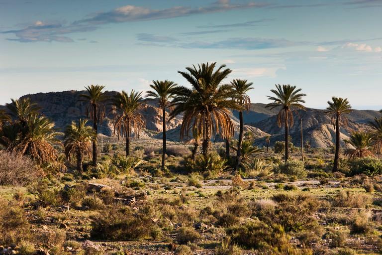 Palm trees in the Tabernas Desert
