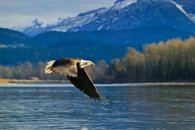 Zoology / animals, mammal / mammalian, bald eagle, Haliaeetus leucocephalus, Brackendale, Squamish, Squamish River, Cheakamus River, Mamquam rivers, British Columbia, Canada,