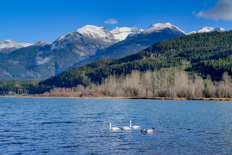 Trumpeter swans, Green Lake, Whistler, British Columbia, Canada