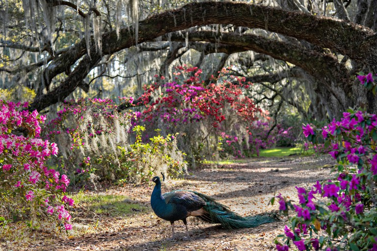 A peacock strolls under a Live Oak tree tunnel covered in Spanish Moss as azalea shrubs blossom in spring at Magnolia Plantation in Charleston, South Carolina. The plantation and gardens were built in 1676 by the Drayton Family and remains under the contr