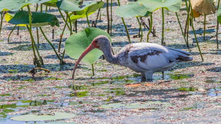 1st spring American White Ibis at Shoveler's Pond in Anahuac National Wildlife Refuge in Texas.